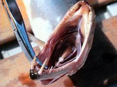 ドラードカショーロの牙